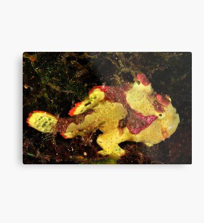 Clown Frogfish Metal Print