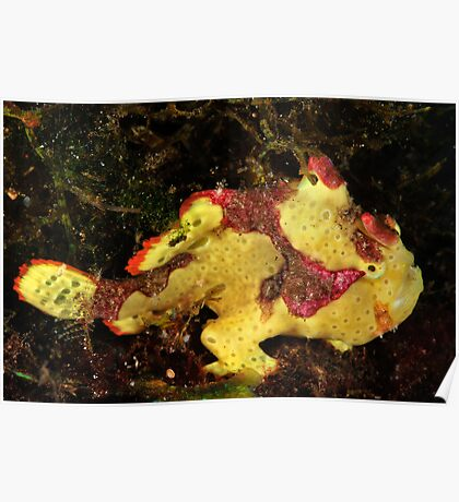 Clown Frogfish Poster