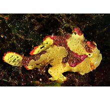 Clown Frogfish Photographic Print