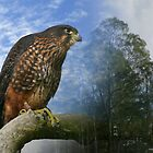 New Zealand Falcon  by ChrisNZ