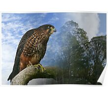 New Zealand Falcon  Poster