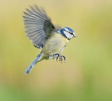 Blue tit ~ In flight by Margaret S Sweeny