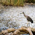 Night Heron, Immature by Kenneth Keifer