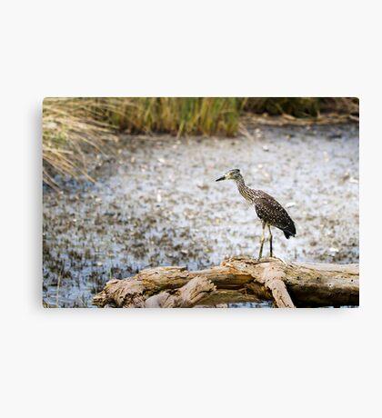 Night Heron, Immature Canvas Print