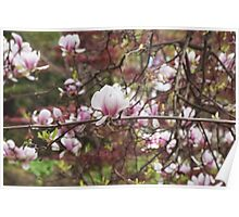 Cherry Blossom Photograph Poster