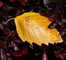 Wet Birch Leaf in Barberry Bush by Kenneth Keifer