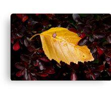 Wet Birch Leaf in Barberry Bush Canvas Print