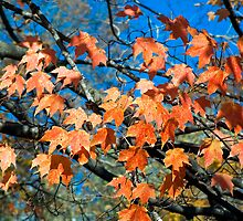 Autumn Maples Leaves and Blue Sky by Kenneth Keifer