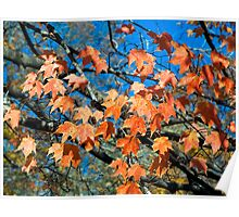 Autumn Maples Leaves and Blue Sky Poster