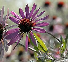 Coneflower - Photo Finish by T.J. Martin
