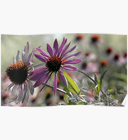 Coneflower - Photo Finish Poster