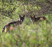 A Coyote Pair by DARRIN ALDRIDGE