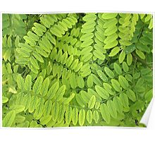 Bright green leaves and small acacia with dew drops Poster