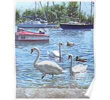 swans and boats at Christchurch harbour,UK Poster