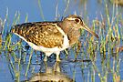 Painted Snipe (Female) taken Bowra Station near Cunumulla by Alwyn Simple