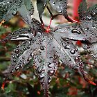Damp Acer by Stephen J  Dowdell