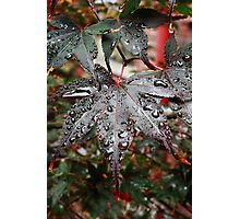 Damp Acer Photographic Print