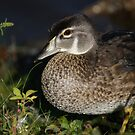 Female Wood Duck by Karol Livote
