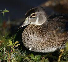 Female Wood Duck by Karol Livote
