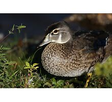 Female Wood Duck Photographic Print