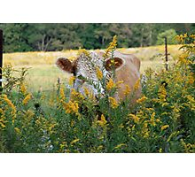 The Golden Cow In The Golden Pasture Photographic Print