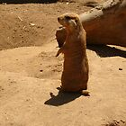Sweet Prairie Dog by Virginian Photography (Judy)