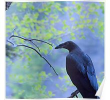 Raven on a Branch Poster