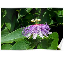 Passion Flower (Passion of Christ Flower) Poster
