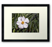 Bicolor Daffodil at the Link Observatory, Indiana Framed Print