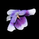 Purple Princess by Phrancis Whiteley