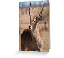 Waterbuck at the N'wanetsi River Road, Kruger National Park, South Africa Greeting Card