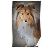 Sheltie Beauty Poster