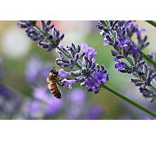 Lavender Flower Photographic Print