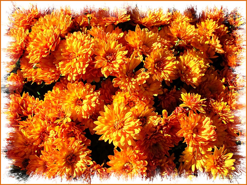 Fall Autumn Colors - Orange Chrysanthemums - Flowers in Sunlight by Chantal PhotoPix