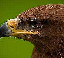 Steppe Eagle v2 by JMChown