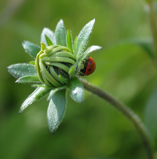 Ladybird on a bud. by pauline hamilton