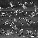 Black-tailed Godwits by Neil Bygrave (NATURELENS)