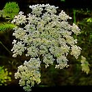 The Elegant Queen Anne's Lace by teresa731