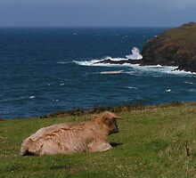 Highland Calf near Cape Cornwall by Kat Simmons