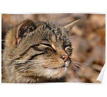 The Highland Tiger (Scottish Wildcat) Poster