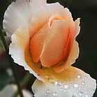 Rose with raindroplets by Nicole Besch