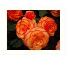 Peach and Orange Begonia Art Print