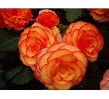 Peach and Orange Begonia Photographic Print