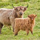 Highland Cows by M.S. Photography/Art