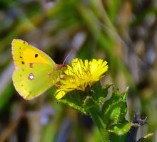 Small Yellow Butterfly. Lyme Dorset UK by lynn carter