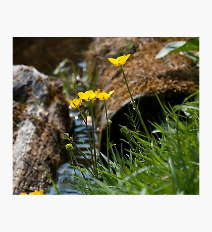 Buttercups by the river Photographic Print