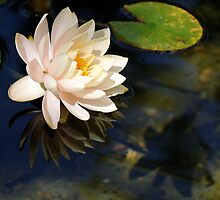 Reflections Of A Water Lily by cdfeag65202