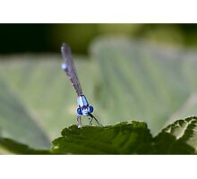 Damselfly Looks Your Way Photographic Print