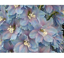Delphinium Blooms Photographic Print