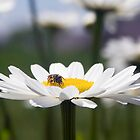 Little Bee on Shasta Daisy by Kenneth Keifer